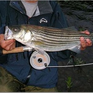 Striper on Spey