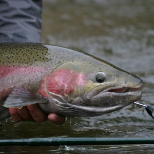 Deschutes_Steelhead_35_in_taken_by_mhuber
