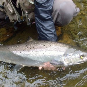 Kedgwick Atlantic salmon